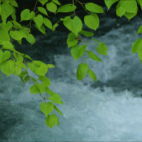 A clean Niseko stream under a canopy of green.