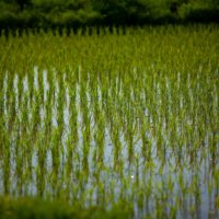 Niseko produces some of Japan's finest organic rice.