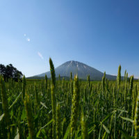 A Tanuki's view of Mt Yotei through a barley field.