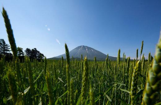 A Tanuki's view of Mt Yotei through a barley field.
