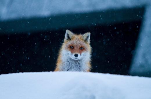 Weather Fox  P 15177